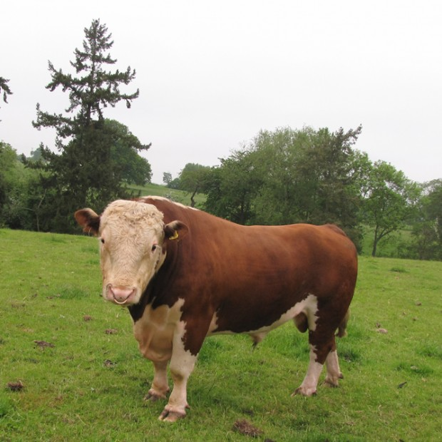 Traditional Pedigree Hereford Cattle
