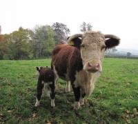 Bella new calf (5)