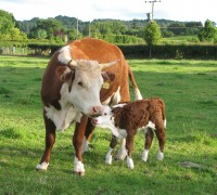 Hattie with her first calf (1)