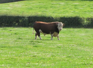 cattle-about-01